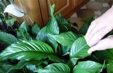 darles brillo a las hojas de las plantas