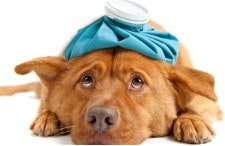 Resfriado en perros - Tratamiento casero